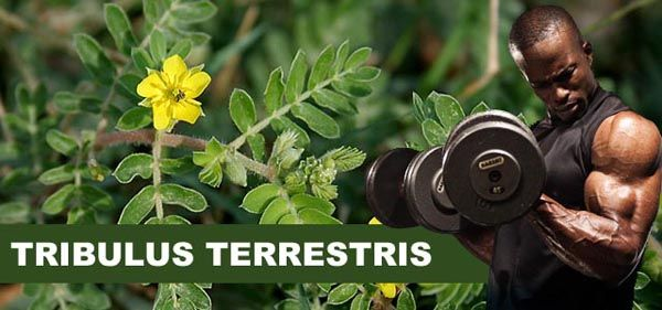 Tribulus Terrestris: Para que serve
